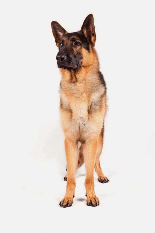 No. 2 -- German shepherd