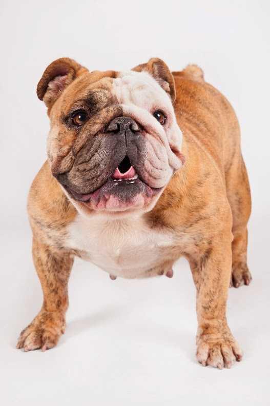 No. 4 -- Bulldog