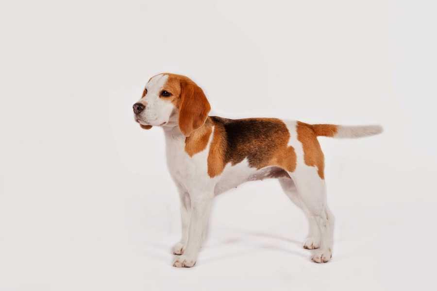 No. 5 -- Beagle
