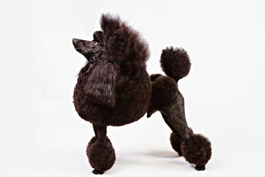 No. 7 -- Poodle