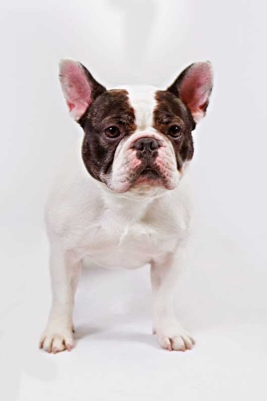No. 9 -- French bulldog