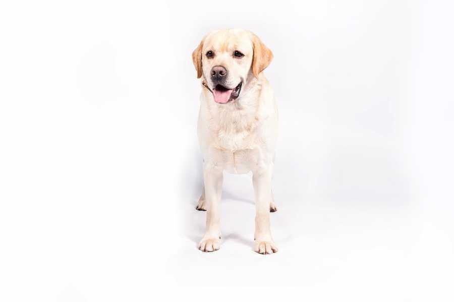 No. 1 -- Labrador retriever