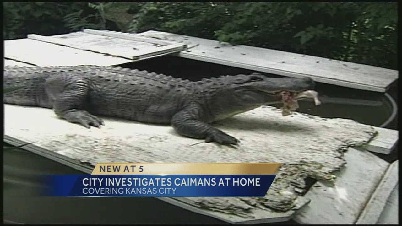Kansas City has told the owner of four caimans in a Kansas City neighborhood that unless there is proof of an extension of the agreement that allowed the reptiles to stay, they'll have to be gone by Sunday.