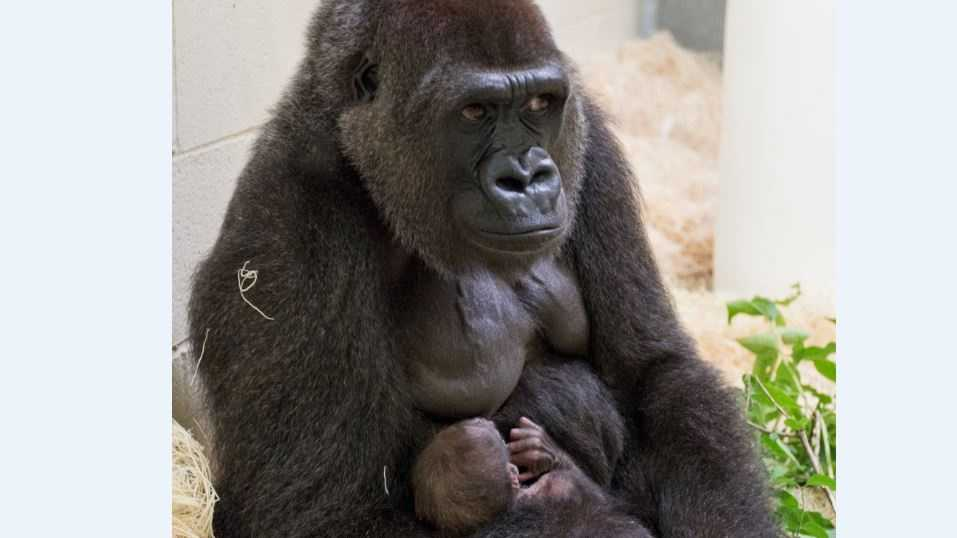 Zoo officials say the weather was warm enough on Monday (65 degrees Fahrenheit) for the mother, Makari, and baby, still unnamed, to go outside.
