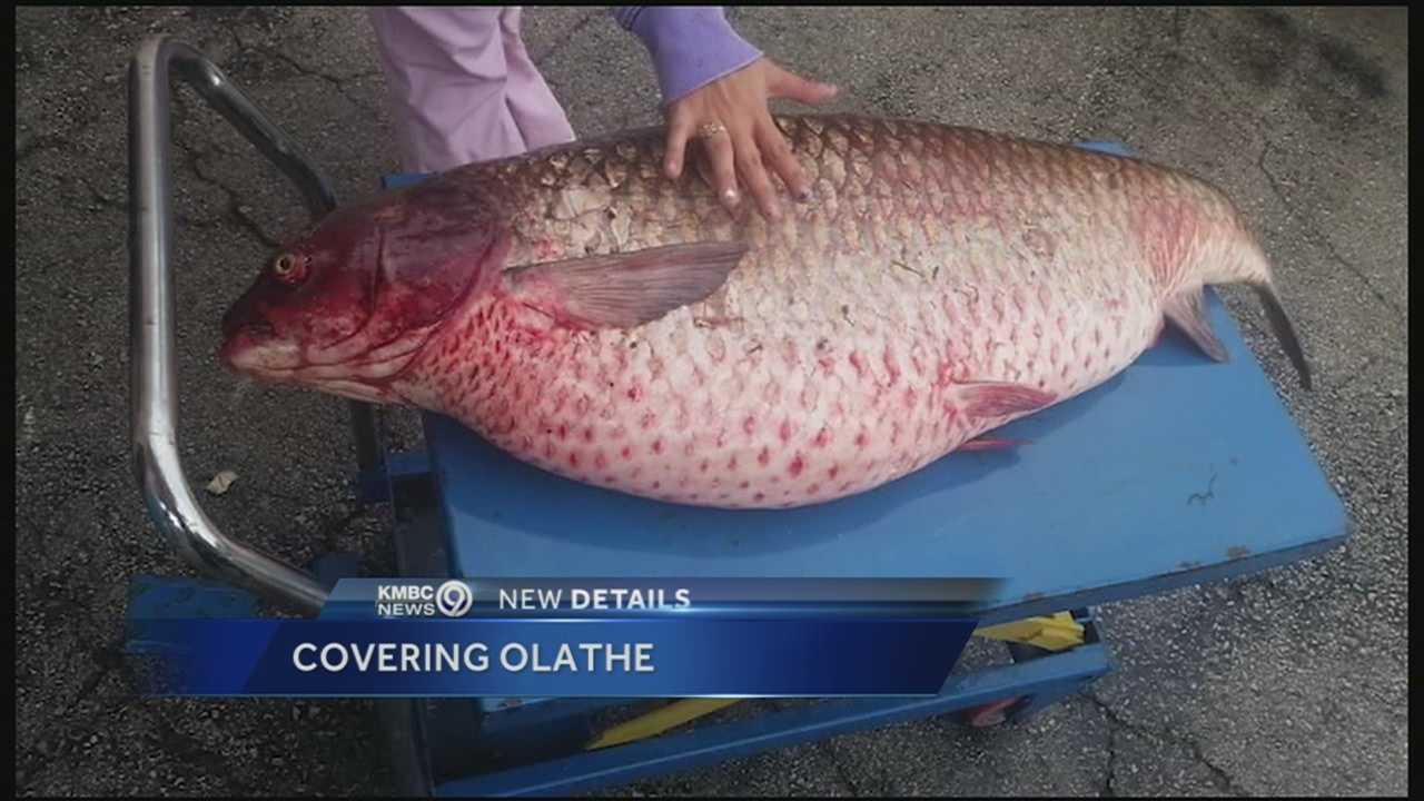 A 60-pound carp is found in an Olathe drainage ditch.
