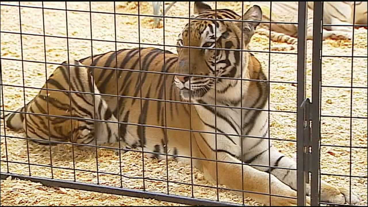 Some people visiting the Missouri State Fair this week express concerns about the health of two show tigers, saying the cats appear to be underfed.