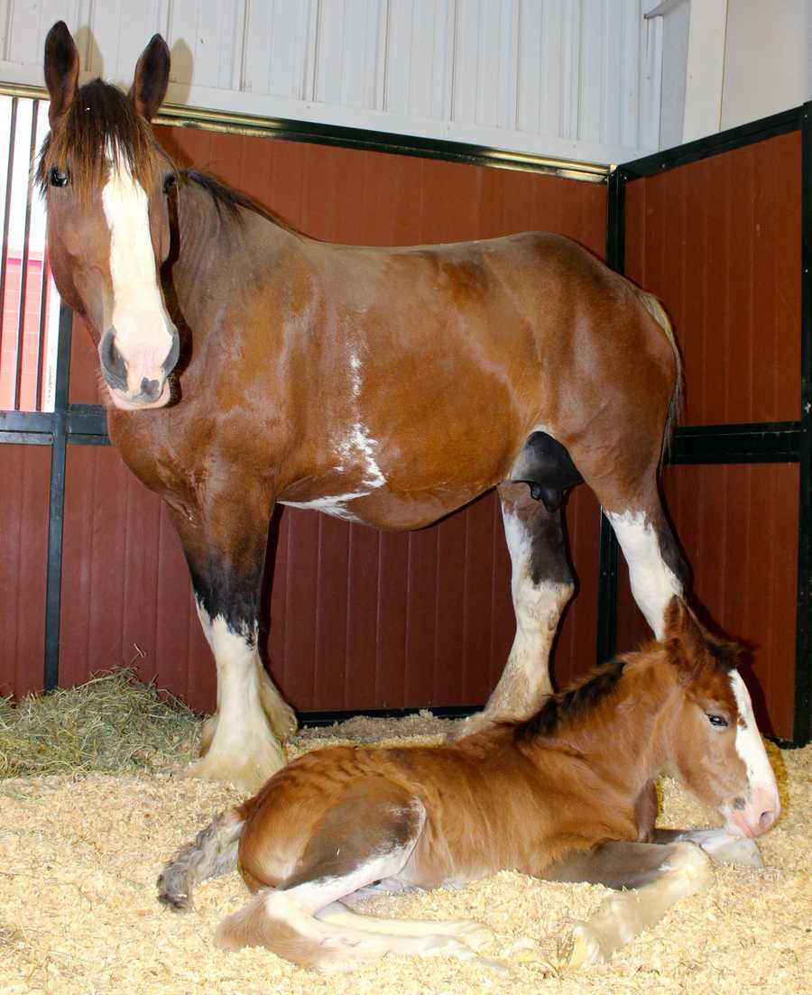 Meet Moose the Budweiser Clydesdale, which is named for Kansas City Royal Mike Moustakis.