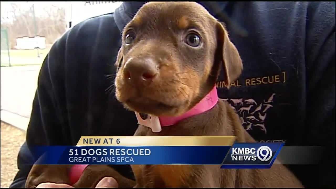 Great Plains SPCA in Independence is helping 51 dogs rescued in a major puppy mill case.