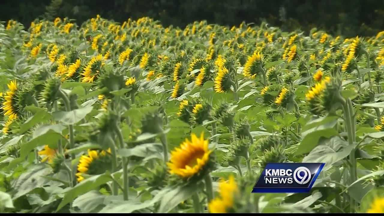 Labor Day weekend marks the unofficial end of summer, but the start of an annual tradition at a farm in the Lawrence area.