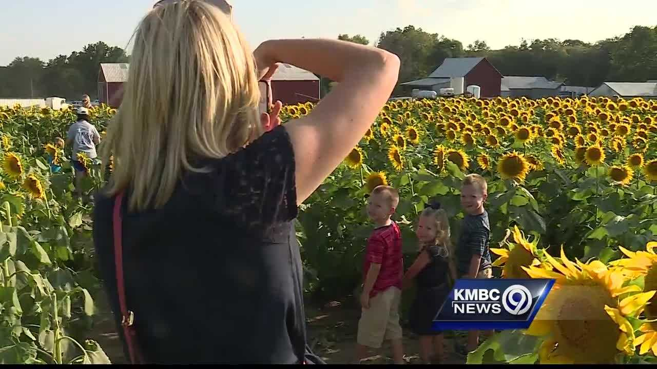 Grinter Farms was asked to shut down its popular sunflower field for a short time Monday because of heavy traffic and crashes in the area.