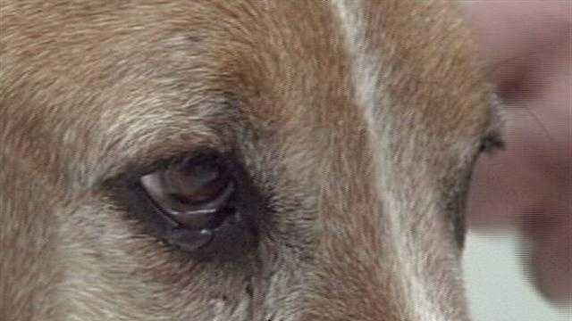 He was found wandering, wounded and nearly skinned alive. The abused dog's caretaker warns that he may have been used as bait for a dog fighting ring.