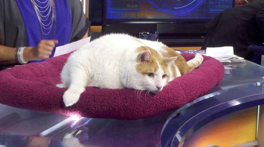 The 39-pound cat, Mr. Meow, visited Action 7 News on Friday morning.