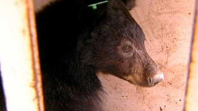 Talk of change comes after a caged bear bit a 12-year-old boy in Rio Rancho.