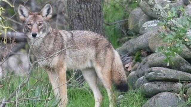 Warning about Coyote attacks