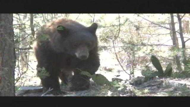 An enormous bear was spotted Monday morning on the Santa Ana Pueblo.