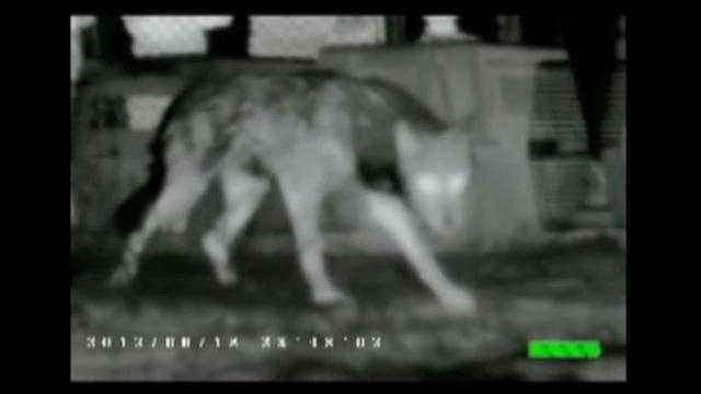 Rescued wolves go to their new home