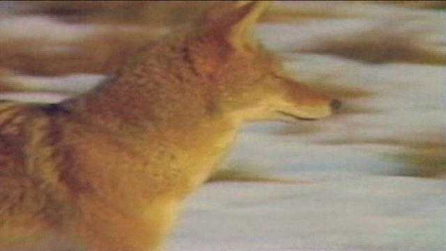 Many have expressed their dismay with a planned coyote hunting contest