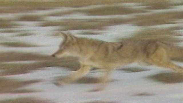 The controversial hunt where a gun shop will reward the hunter who kills the most coyotes is almost here.