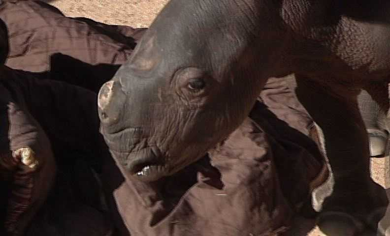 Because the rhino was born on a very cold night and didn't bond with his mother, he's now hand fed a mixture of skim and 1 percent cow's milk with added dextrose and vitamins.