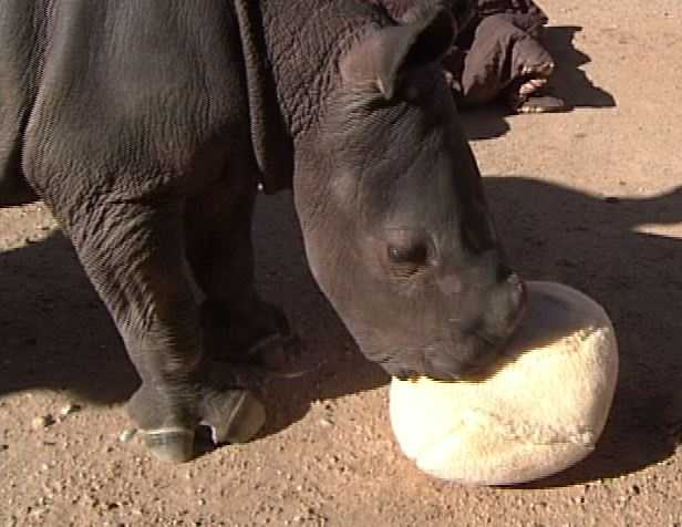 A 2-week-old male rhino calf arrived at his home at the ABQ BioPark Zoo on Wednesday.