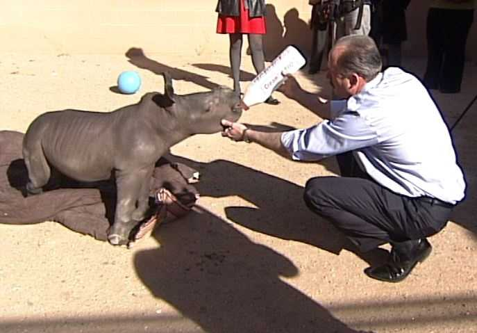 The rhino was born at Florida's White Oak Conservation Center on Oct. 30. At birth the calf weighed 132 pounds.