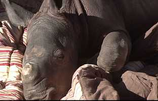 """""""We are pleased that Albuquerque can offer a good home to this rhino calf,"""" said Mayor Richard J. Berry. """"We know that our Zoo will give him top-notch care, and what a great treat for families to watch this little guy grow up."""""""