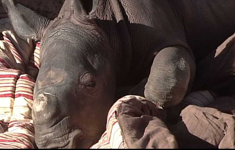"""We are pleased that Albuquerque can offer a good home to this rhino calf,"" said Mayor Richard J. Berry. ""We know that our Zoo will give him top-notch care, and what a great treat for families to watch this little guy grow up."""
