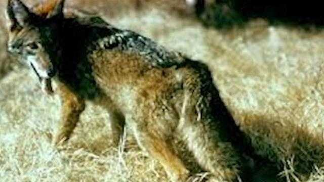 Contest to reward the hunter that kills the most coyotes