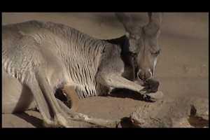 Three new red kangaroo joeys are on display at the ABQ BioPark Zoo.