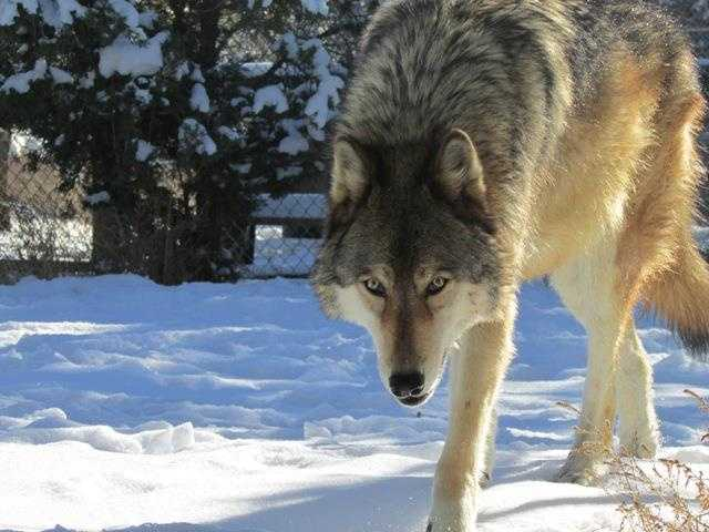 These wolves were bred in capitivity and have been rescued from irresponsible owners or people who realize that wolves are not pets.