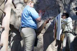 Elephants at the zoo spent the day Tuesday painting artwork to be sold later.