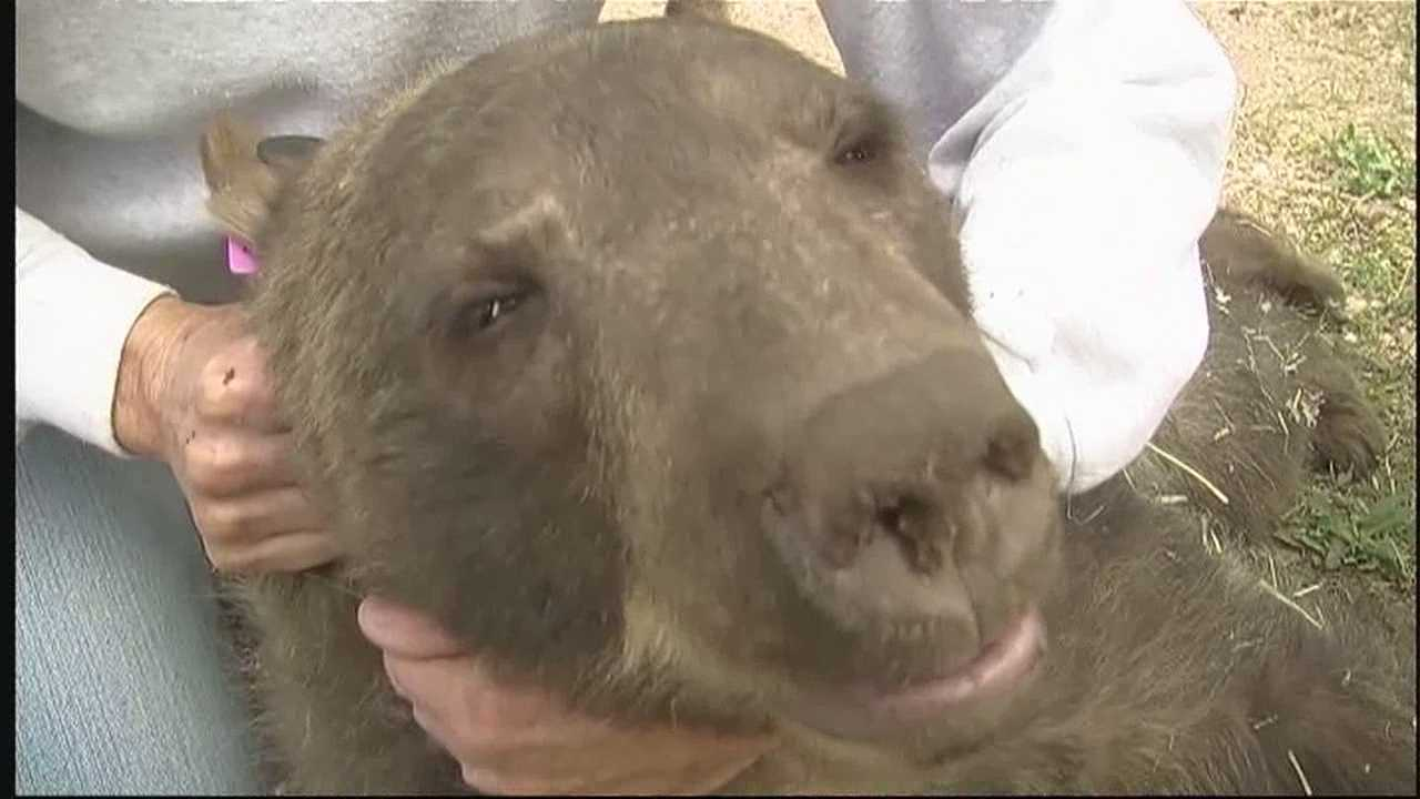 It's just one of 38 hungry bears that were captured across the state.