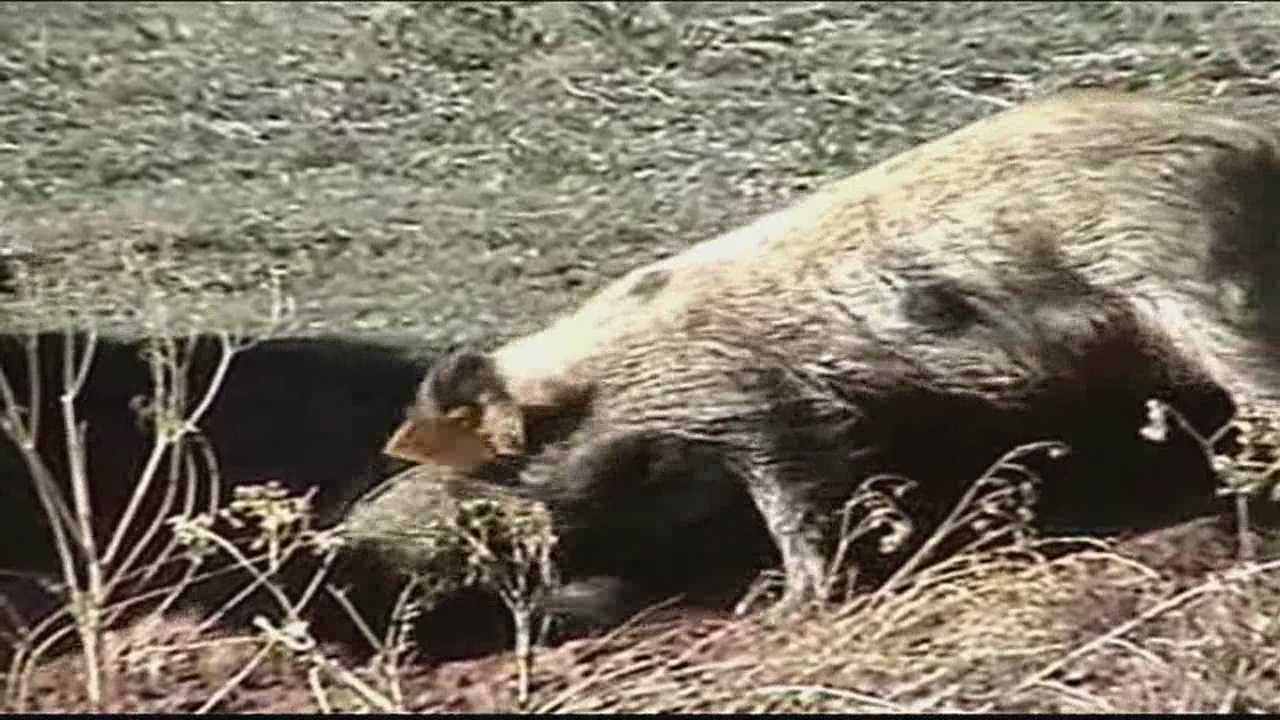 It could take five or six years to eliminate hogs from New Mexico, authorities say.