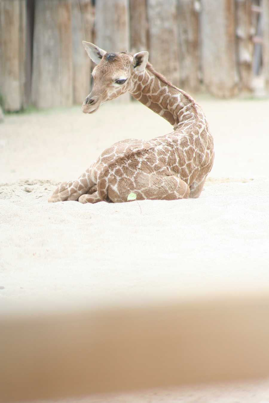 CLICK HERE for more information on giraffe feedings.