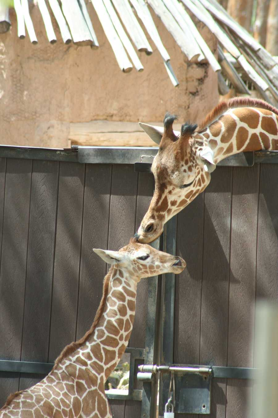 In summer, zoo patrons can help feed the giraffe herd at noon on Wednesdays-Sundays.