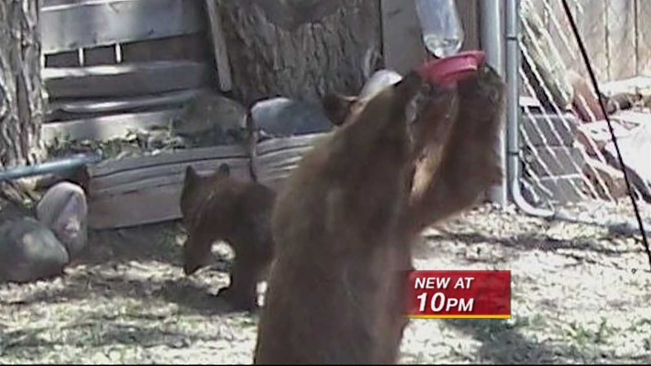 Bears in backyards.  Officials say the animals are getting more desperate in their search for food and water and residents shouldn't leave out food or trash to attract them but now one animal activist wants the government to start feeding the bears.