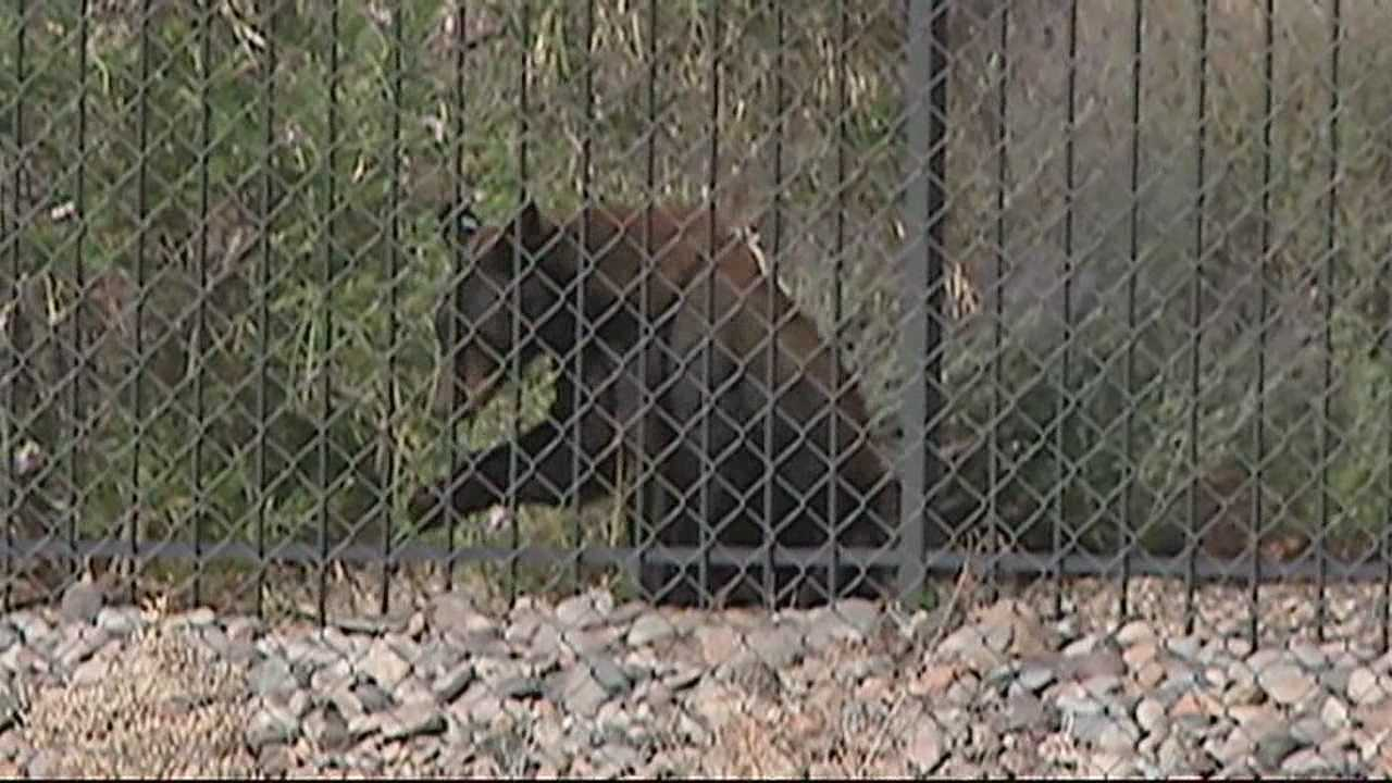Officials tranquilized a bear in southwest Albuquerque Wednesday morning.