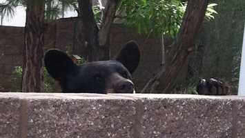See photos of Wednesday morning's bear capture in Albuquerque.