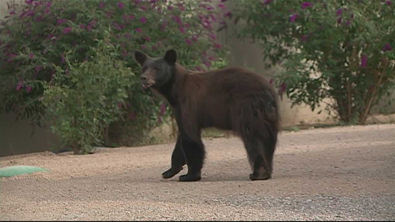 Albuquerque police and New Mexico Game and Fish officers captured a bear loose in a back yard Wednesday morning.