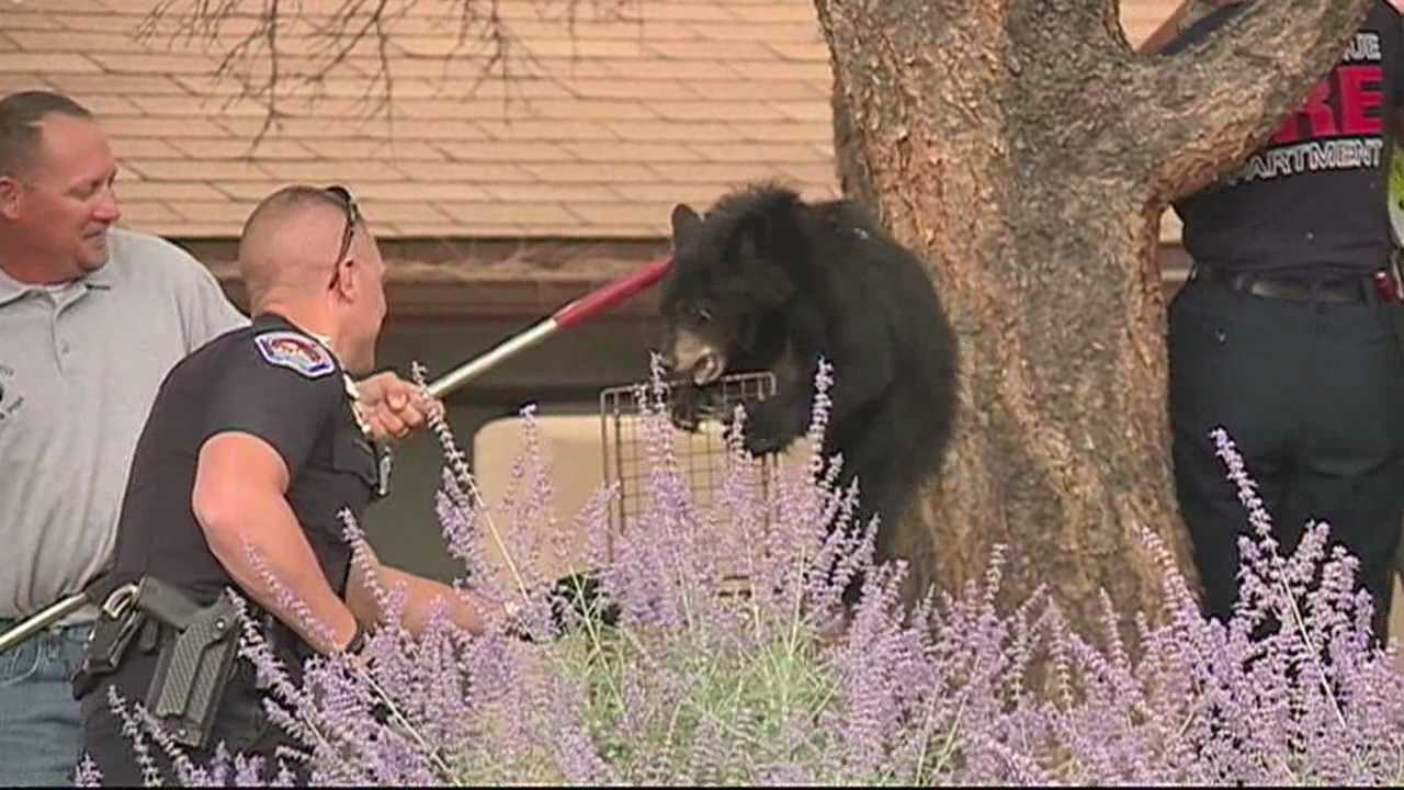 After a mom and her cub were spotted Thursday morning in northeast Albuquerque, Game and Fish officials are saying this is the most bears they've seen in a decade.