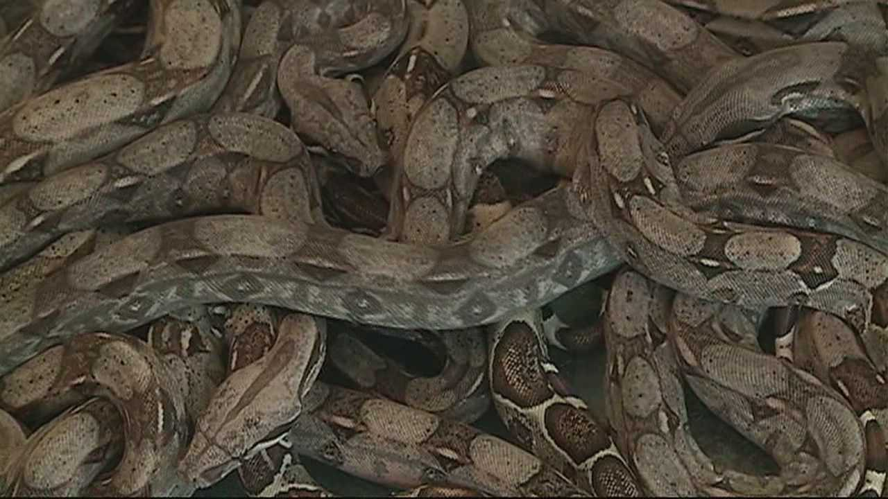 img-Snakes being sold illegally on the side of the road