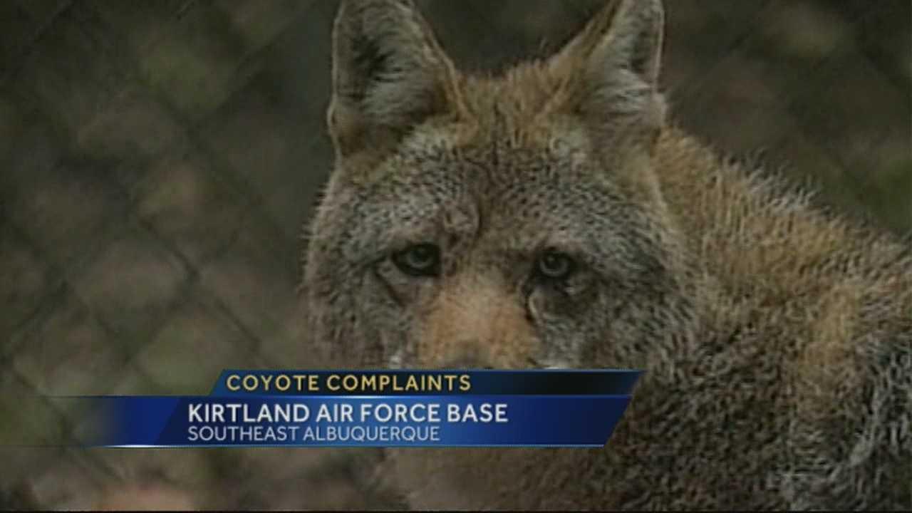 img-Coyote sightings at Kirtland Air Force Base has people worried