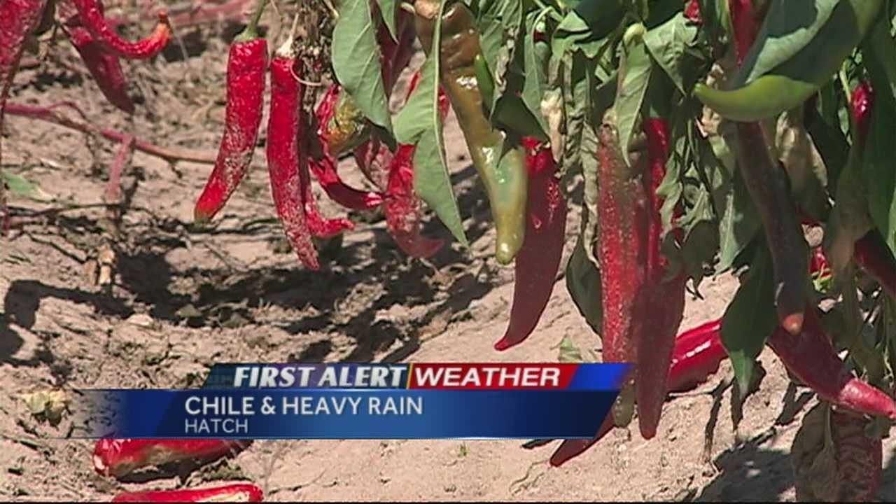 img-Heavy rain both good bad for chile crop