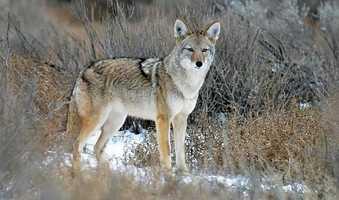 Coyote | Rio Rancho