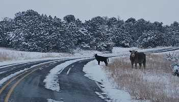 Cows | Sierra County
