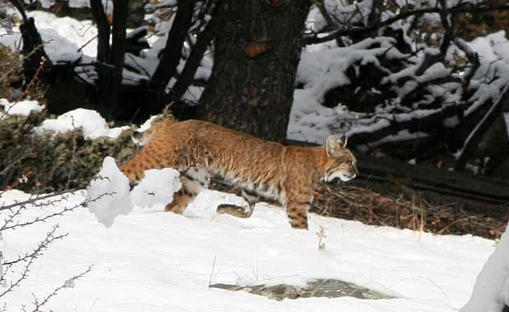 Many of you submitted pictures of your cats and dogs playing in the snow this past weekend. [Bobcat | Angel Fire]