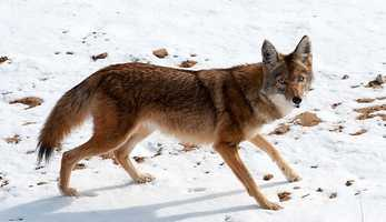 Coyote | Albuquerque
