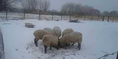 Sheep | Valencia County