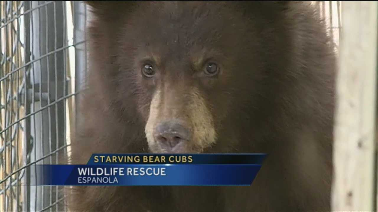 Wildlife officials are trying to save two bear cubs after they were found starving to death in Santa Fe County.