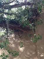 Los Ranchos tree (Part 2)